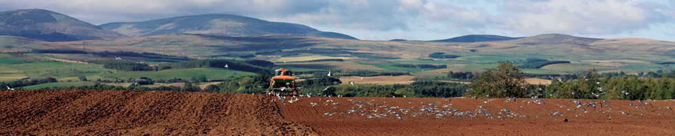 tractor with cheviots backdrop
